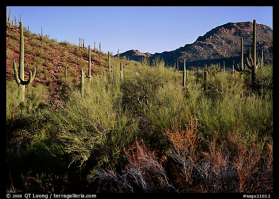 Palo Verde and saguaro cactus on hill. Saguaro  National Park (color)