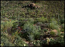 Cactus forest on hillside, Gates pass, morning. Saguaro National Park, Arizona, USA. (color)