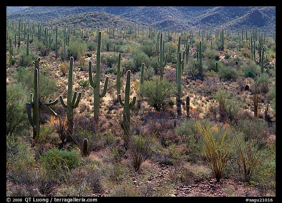 Ocatillo and saguaro cactus in valley. Saguaro National Park (color)
