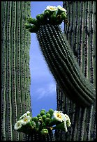 Saguaro cactus in bloom. Saguaro National Park, Arizona, USA.