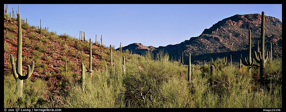 Sonoran desert landscape with sagaruo cactus. Saguaro National Park (color)