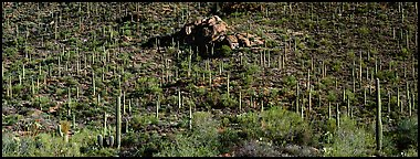 Hillside covered with Saguaro cactus. Saguaro  National Park (Panoramic color)