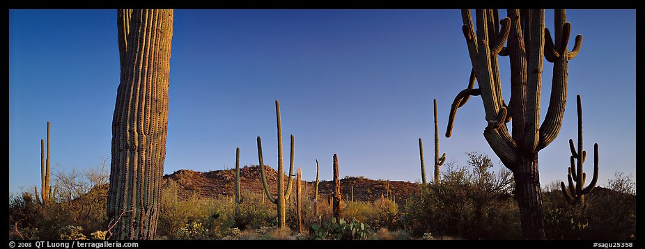 Sonoran desert scenery with cactus. Saguaro National Park (color)