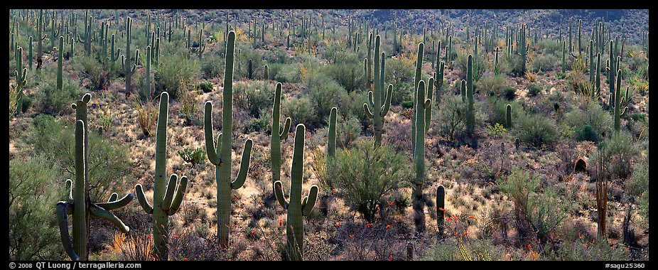 Dense forest of giant saguaro cactus. Saguaro National Park (color)