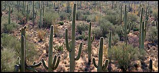 Cactus typical of the Sonoran desert. Saguaro National Park (Panoramic color)