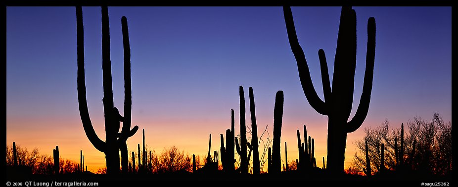 Saguaro cactus silhouettes at sunset. Saguaro National Park (color)