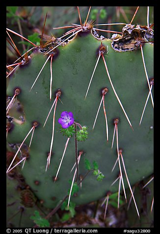 Phacelia and prickly pear cactus. Saguaro National Park, Arizona, USA.