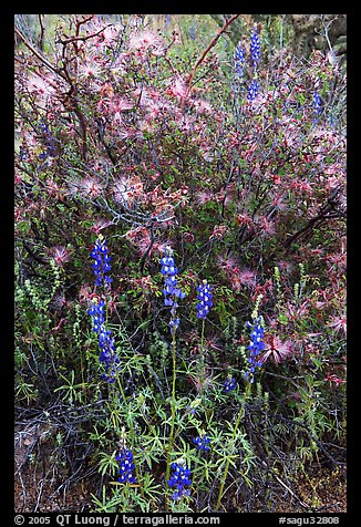 Royal lupine and fairy duster. Saguaro National Park (color)