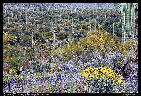 Sonoran desert in bloom, Tucson Mountain District. Saguaro National Park (color)