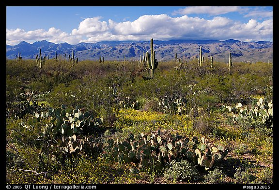 Cactus and carpet of yellow wildflowers, Rincon Mountain District. Saguaro National Park (color)