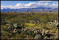 Cactus and carpet of yellow wildflowers, Rincon Mountain District. Saguaro National Park ( color)