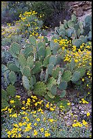 Brittlebush and prickly pear cactus. Saguaro National Park, Arizona, USA.