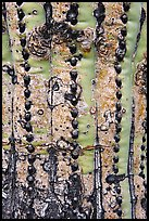 Bark of old saguaro cactus. Saguaro National Park ( color)
