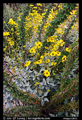 Brittlebush and ocotilo. Saguaro National Park, Arizona, USA.