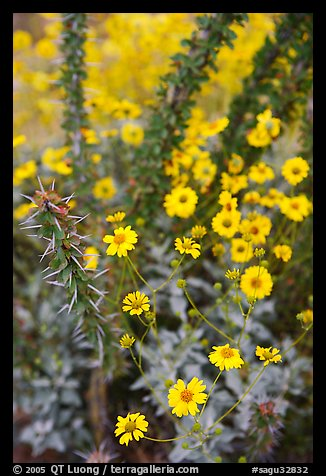 Brittlebush and ocotilo. Saguaro National Park (color)