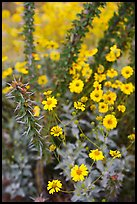 Brittlebush and ocotilo. Saguaro National Park, Arizona, USA. (color)