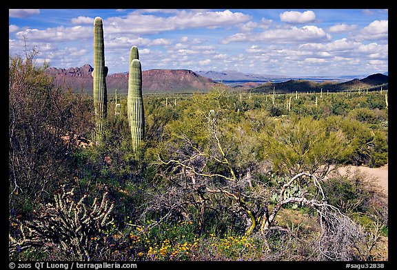 Lush desert with Cactus, mexican poppies, and palo verde near Ez-Kim-In-Zin. Saguaro National Park (color)