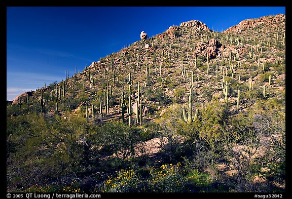 Hillside in spring with desert annual flowers, Hugh Norris Trail. Saguaro National Park (color)