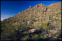 Hillside in spring with desert annual flowers, Hugh Norris Trail. Saguaro National Park, Arizona, USA. (color)