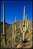 Tall saguaro cactus (scientific name: Carnegiea gigantea), Hugh Norris Trail. Saguaro National Park, Arizona, USA. (color)
