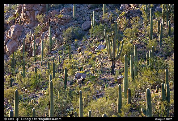 Slope with saguaro cactus forest, Tucson Mountains. Saguaro National Park (color)