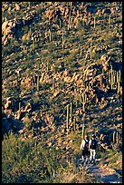 Hikers descending Hugh Norris Trail amongst saguaro cactus, late afternoon. Saguaro National Park ( color)
