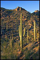 Tall saguaro cactus on the slopes of Tucson Mountains, late afternoon. Saguaro National Park, Arizona, USA.