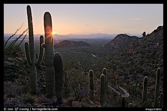 Saguaro cactus at sunset, Hugh Norris Trail. Saguaro National Park (color)