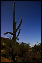 Saguaro cactus at night with stary sky, Tucson Mountains. Saguaro National Park, Arizona, USA.