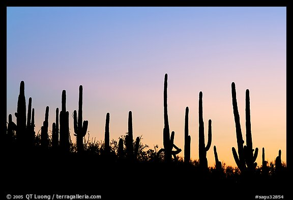 Dense saguaro cactus forest at sunrise near Ez-Kim-In-Zin. Saguaro National Park (color)