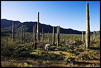 Tall cactus and Tucson Mountains, early morning. Saguaro National Park ( color)