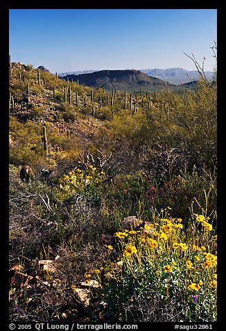 Brittlebush and cactus near Ez-Kim-In-Zin, morning. Saguaro National Park (color)