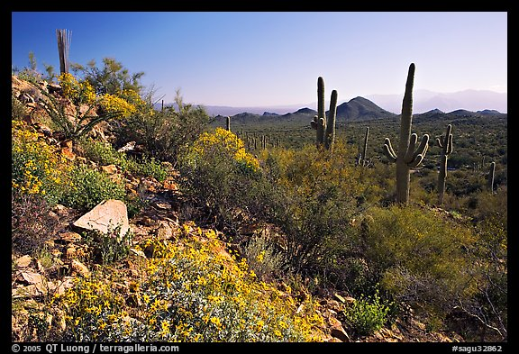 Brittlebush and Saguaro cactus near Ez-Kim-In-Zin, morning. Saguaro National Park (color)