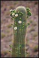 Tip of saguaro arm with pods and blooms. Saguaro National Park ( color)