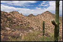 Saguaro forest on mountain slopes. Saguaro National Park ( color)