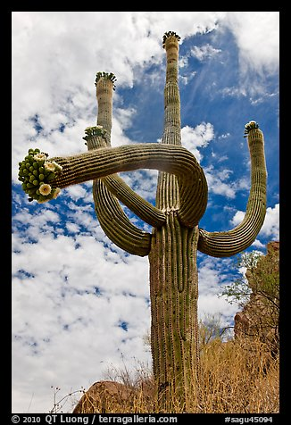 Four-armed saguaro in bloom. Saguaro National Park (color)