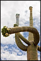 Saguaro with twisted arm and flowers. Saguaro National Park ( color)