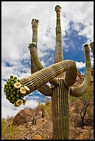 Giant saguaro cactus with flowers on curving arm. Saguaro National Park ( color)