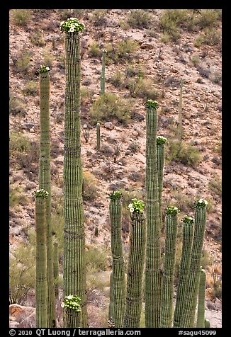 Tops of saguaro cactus with blooms. Saguaro National Park (color)