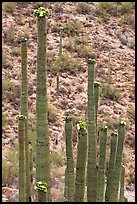 Tops of saguaro cactus with blooms. Saguaro National Park ( color)