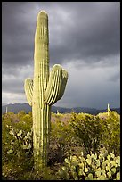 Saguaro cactus and stormy skies, Rincon Mountain District. Saguaro National Park ( color)