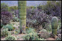 Desert wildflowers and cacti, Rincon Mountain District. Saguaro National Park ( color)