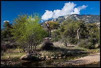 Decidious trees, Miller Creek and Rincon mountains. Saguaro National Park ( color)