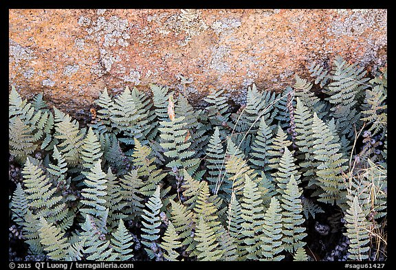 Close-up of ferns and lichen, Rincon Mountain District. Saguaro National Park (color)