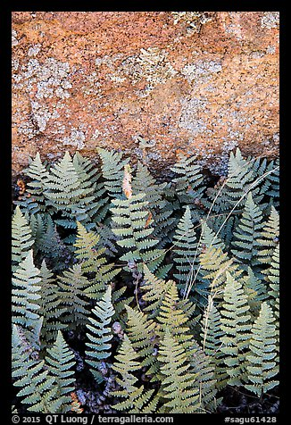 Ferns and lichen on boulder, Rincon Mountain District. Saguaro National Park (color)