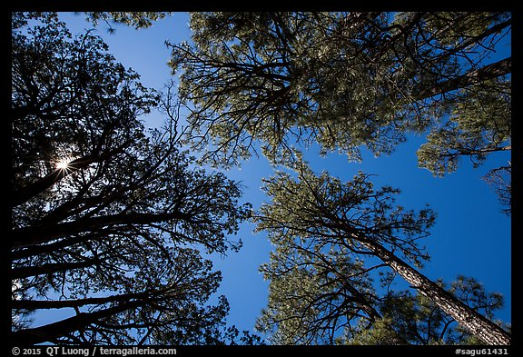 Looking up pine trees, Happy Valley, Rincon Mountain District. Saguaro National Park (color)