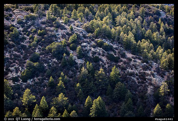Pine trees from Rincon Peak. Saguaro National Park (color)