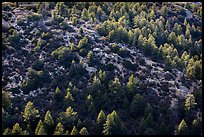 Pine trees from Rincon Peak. Saguaro National Park ( color)