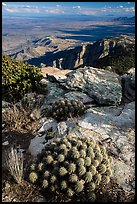 Cactus growing at 8,000 feet on Rincon Peak. Saguaro National Park ( color)