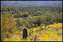 Desert hillsides covered by brittlebush in bloom, Rincon Mountain District. Saguaro National Park ( color)